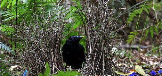 Bower Kuşu Nedir, Evini Nasıl Hazırlar